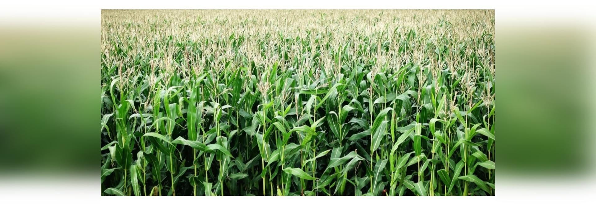 CubeSats help maize farmers optimise fertilizer use