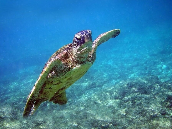 Green Turtle (Chelonia Mydas) in Hawaii.